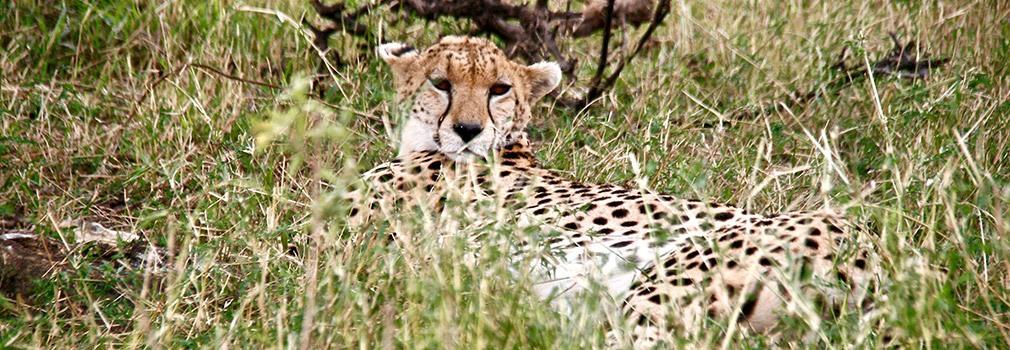 Guepardo en la reserva de Masái Mara