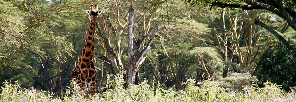 Una jirafa de Rothschild en el Lago Nakuru, al este de Nairobi.