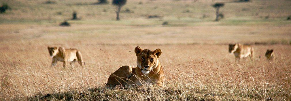 Ver leones en un safari en Kenia