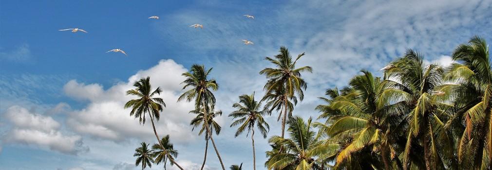 Palmeras en Sri Lanka